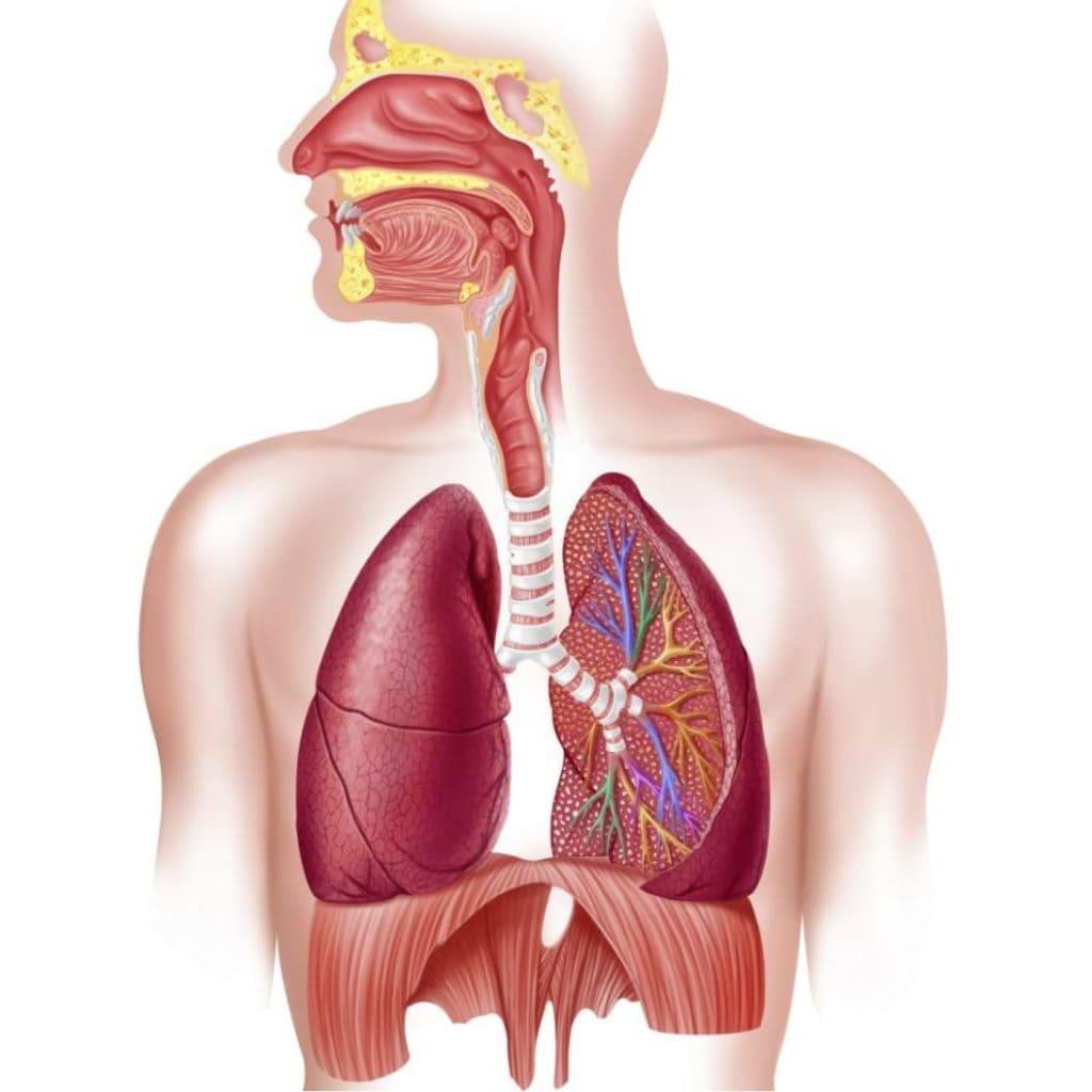 الجهاز التنفسي تعريفه ومكوناته ووظيفته وامراضه ووقايته من الامراض