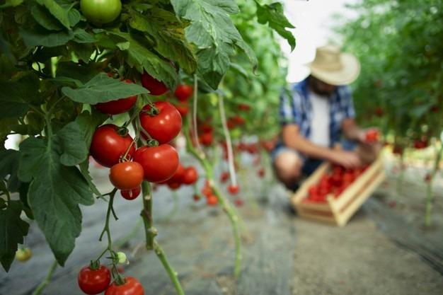أضرار الطماطم